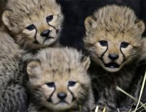 Cheetah Babies image